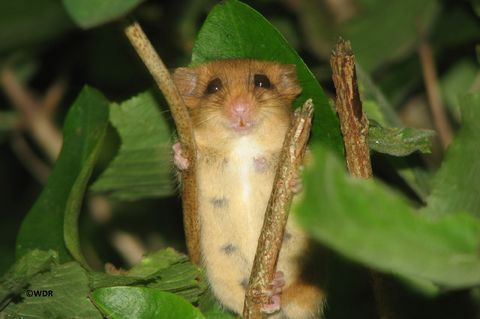 The Hazel Dormouse - Wide Awake