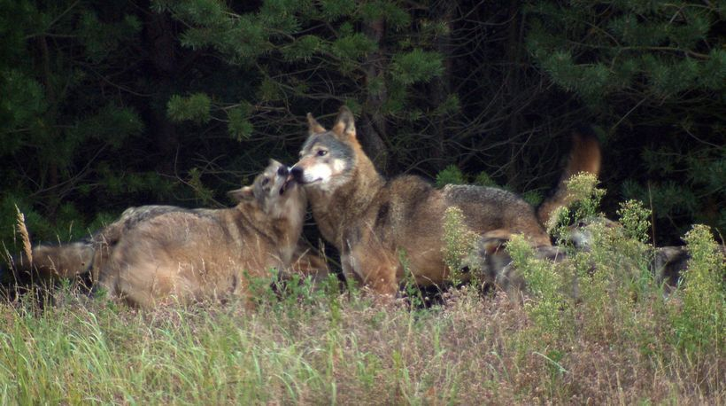 The Wolf Pack – Friend or Foe?