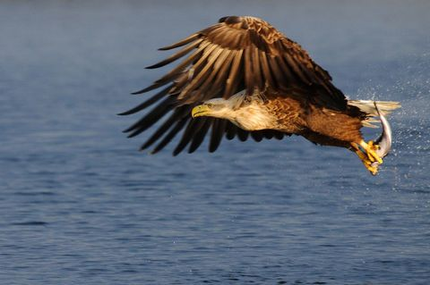 King of the Seas - Sea Eagle