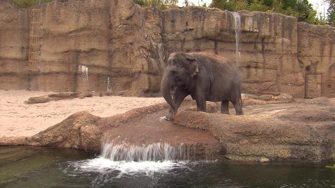 The giants from Asia: A future for zoo elephants